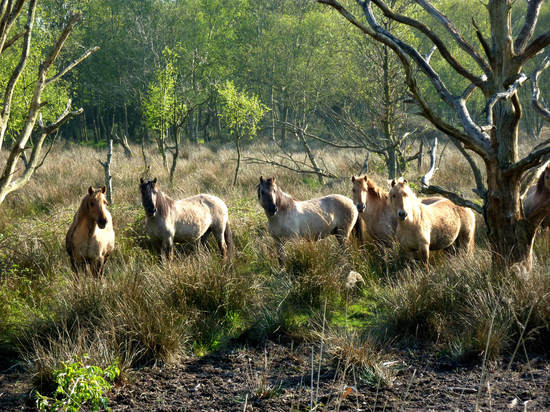 Wild ponies in a wood