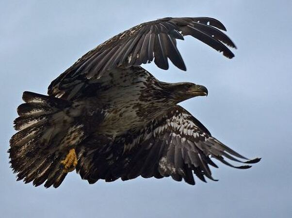 Eagle with outstetched wings