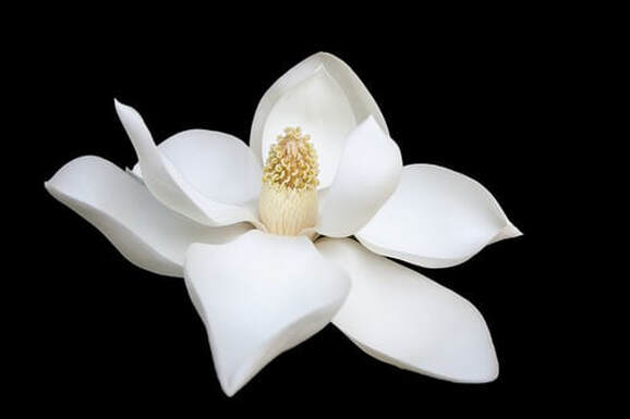 Pure white flower against a black background, illustrating the page title, 'Kingdom Living: the Gift of Righteousness'.
